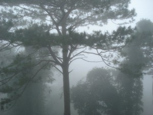 Pine groves of Baguio City
