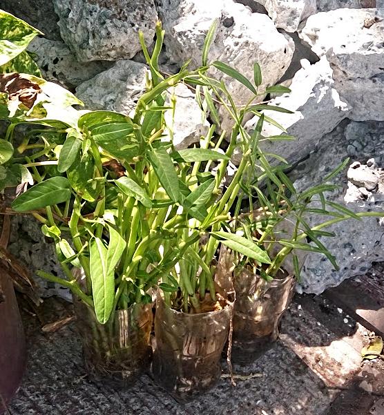 Miniature kangkong garden